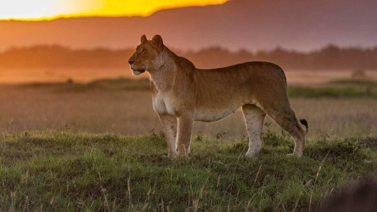 Animal Planet - Big cat tales